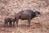 une bufflonne et son bufflon