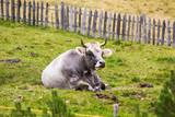 liegende Kuh auf der Weide