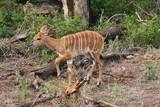 un jeune kudu